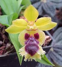 buy an orchid buy orchid plants miniature orchids candida is a miniature