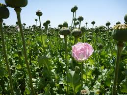 opium even more photos of us nato troops patrolling opium poppy fields