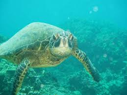 sea turtles get the green light on safety marine science today
