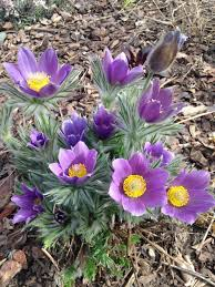 native plant seeds jeffco gardener sow native plant seeds now by donna duffy
