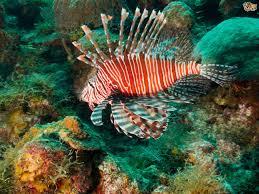 keeping lionfish in a tropical aquarium pets4homes
