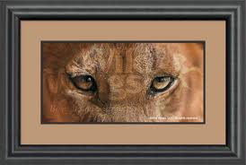 lion print lion eyes framed limited edition print wild wings