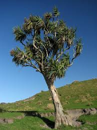 new zealand native plants and trees cordyline australis commonly known as the cabbage tree cabbage