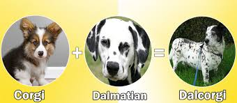 4 australian shepherd x dalmation what happens when you cross dalmatian with other dog breeds
