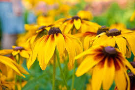 Yellow Orange Flowers - best perennials for full sun gardens in new england