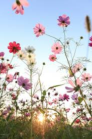 nature cosmos flowers with blue sky i love these flowers we