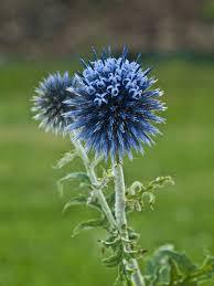 free photo thistle ornamental thistle flower free image on