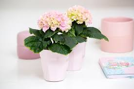 potare le ortensie in vaso ortensia in vaso ortensie coltivare l ortensia in vaso