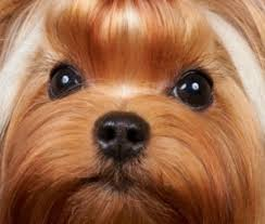 teacup yorkie haircuts pictures getting rid of tear stains yorkie splash and shine blog