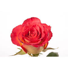 red and yellow bi color rose high society roses types of