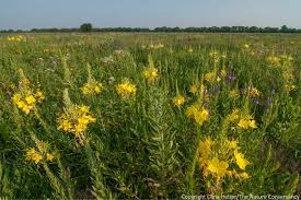 nebraska native plants prairie response to grazing and drought the prairie ecologist