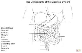 digestive system worksheet coloring page free printable coloring
