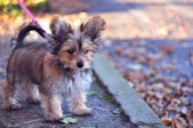 short haired chorkie chorkie chihuahua yorkshire terrier breed profile 2018 edition