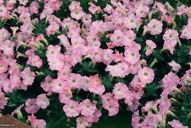 petunia flowers petunia flowers hgtv