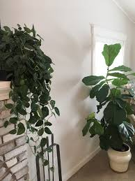 house plants of pinterest and instagram dennis u0027 7 dees