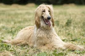 afghan hound puppies youtube afghan hound dog information pets world