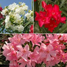mediterranean oleander bush collection 3 colours in 17cm pots