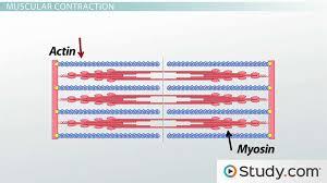 types of muscle tissue skeletal cardiac u0026 smooth video