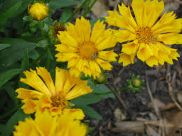 eared coreopsis beech hollow farms