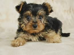 teacup yorkie haircuts pictures how to take care of a teacup yorkie puppy cuteness