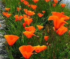 California Poppy The Not To Be Ignored California Poppy