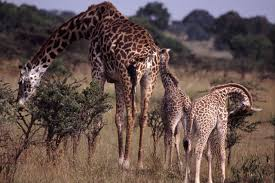 what does a giraffe sound like solving the puzzle of giraffe
