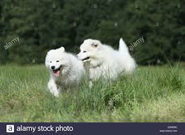 american eskimo dog samoyed dog samoyed samojede two puppies running in a meadow stock photo