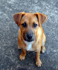 belgian shepherd lab mix boxer mix breeds boxer crosses with other dog breeds