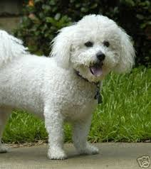 1150 best all things bichons images on bichons