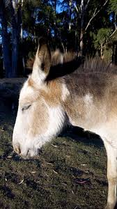 donkey or mule hinny backyardherds com