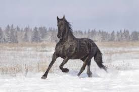 Black Horse Mustang Black Horse Stock Photos U0026 Pictures Royalty Free Black Horse