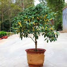 20 pcs osmanthus fragrans seeds sweet olive tree seeds cultivated