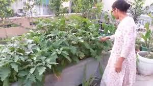 Roof Garden Plants Brinjal On Rooftop Garden Youtube