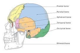 Anatomy And Physiology 7th Edition Saladin Ethmoid Bone Wikipedia