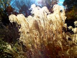 ornamental grass blowing in wind backlit by sun stock photo