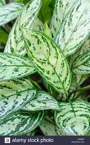 aglaonema chinese evergreen aglaonema nitidum u0027silver king u0027 stock photo