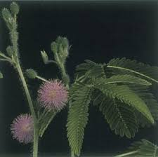 sensitive plant a portrait of a house plant howstuffworks