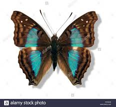 studio photography of a iridescent butterfly with spread wings