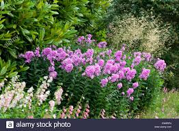 herbaceous border with phlox an english formal garden lower