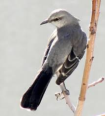 Tennessee Birds images Tennessee state bird mockingbird jpg
