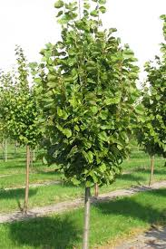 chicago illinois landscaping buy green mountain silver linden