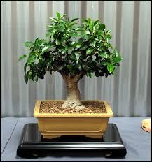 australian native indoor plants 26 ficus rubiginosa large jpg