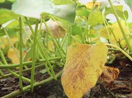 how to fight sweet potato wilt and other diseases diy