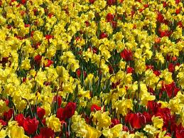 79 best daffodils hill images on pinterest daffodils volcanoes