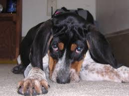 bluetick coonhound drool extreme dog breeds bluetick coonhound