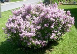 10 easiest to grow flowering shrubs by jaci