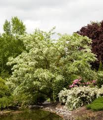 plants native to china chinese fringe tree monrovia chinese fringe tree