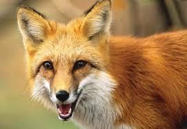 North Carolina wildlife images Witness the fox unc charlotte urban institute jpg