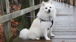 american eskimo dog michigan american eskimo dog breed a z information 2017 american eskimo dog