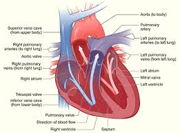 the geology of the human heart